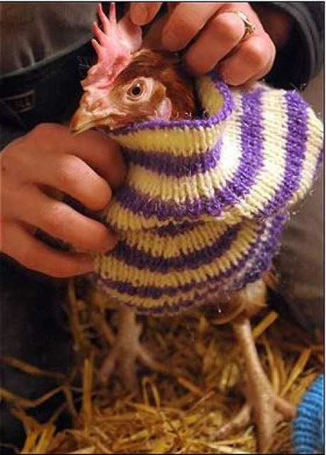Poules poussoules - Se coucher avec les poules ...